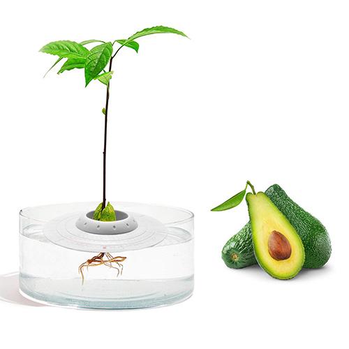 Avocado-Pflanzset-2